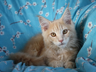 maine coon kittens border=