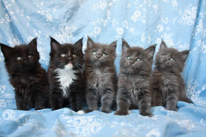 maine coons kittensa