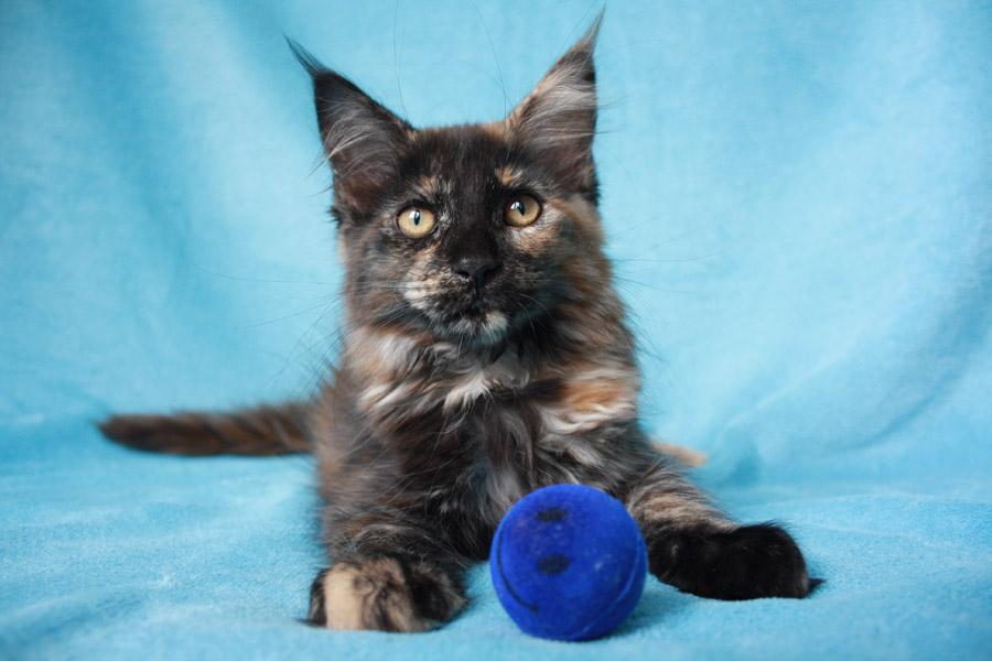 Garfield's Baby Maine Coon - Kittens